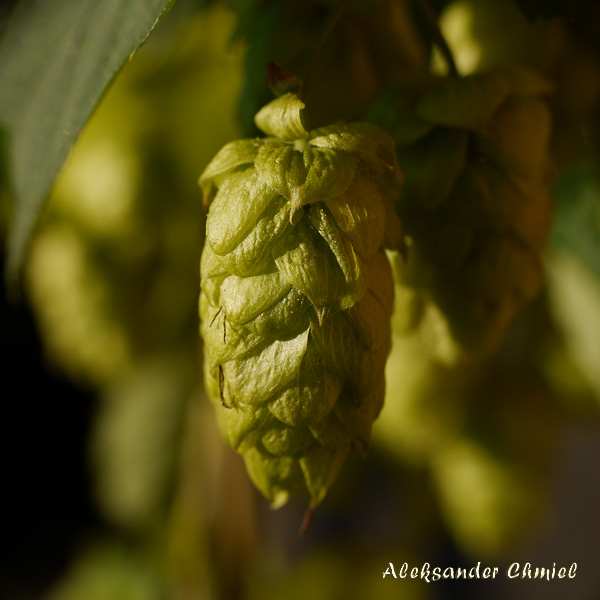 Description: C:\Users\ed.chmiel\AppData\Local\Temp\fz3temp-1\images\Chmiel_hop_Humulus lupulus.jpg
